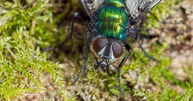Gymnocheta viridis Parasitic Fly