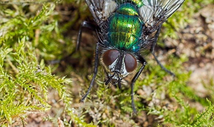 Gymnocheta viridis Parasitic Fly