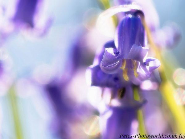 Into the light blue bell (2)