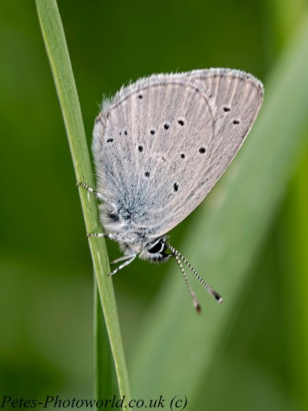 Roosting Small Blue