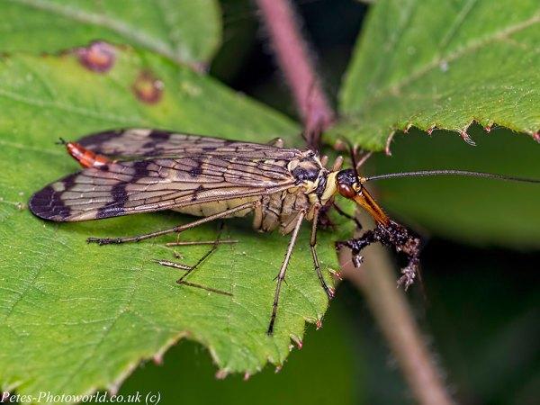 Feeding Scorpion fly