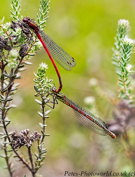 5 image stack of a pair of mating Large Red damselflies