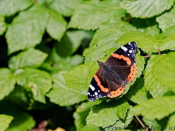 Red Admiral butterfly basking on leaf