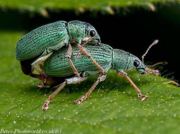 Mating Common Leaf Weevils