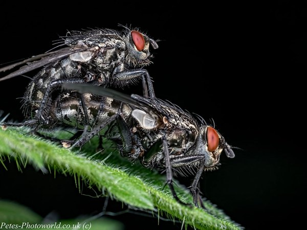 Mating Flesh-flies