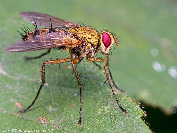 Dexiosoma caninum parasitic fly