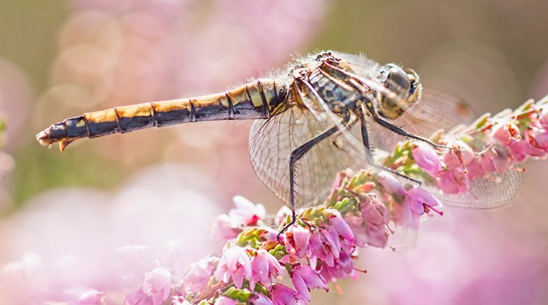 Black Darter on pink heather