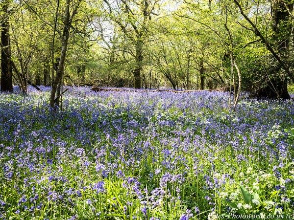 Garston Wood Bluebells & Ramsons (3)