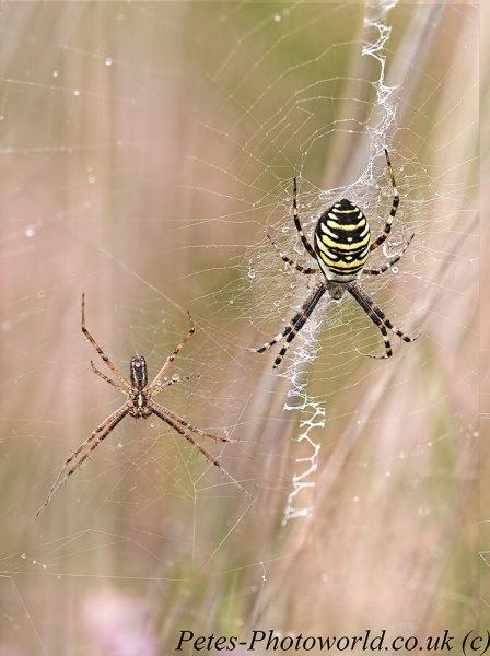 Male & Female Wasp Spider Topaz Studio merged
