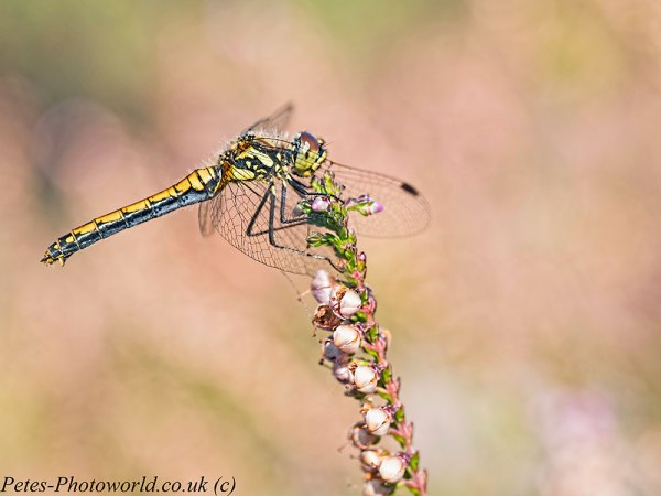 Black Darter dragonfly profile