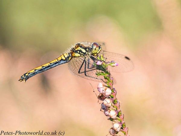 Black Darter dragonfly profile Topaz Studio