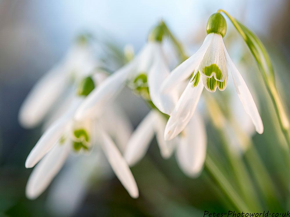 Garston Wood Snowdrops
