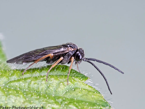 Wasp or Sawfly