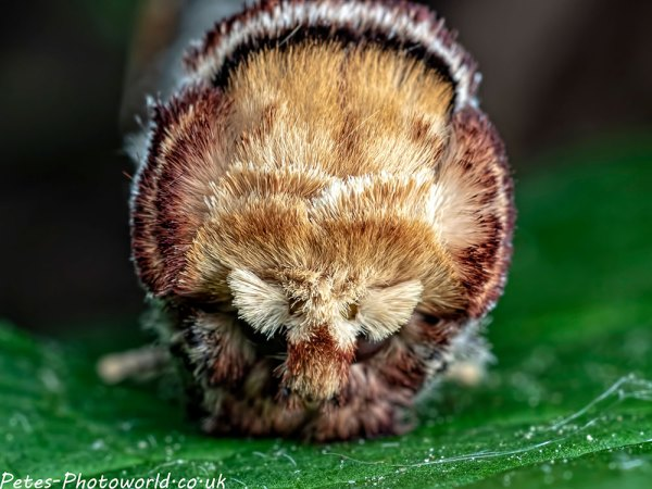 Buff tip moth face on