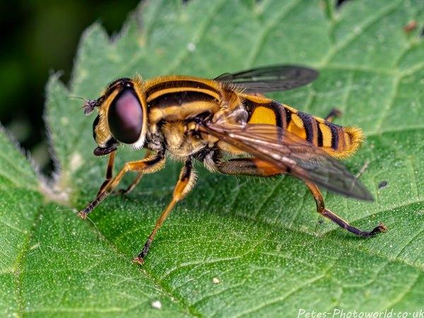 Helophilus pendulus hoverfly