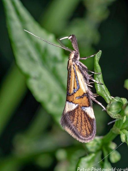 Common Tubic (Alabonia geoffrella) mciro moth