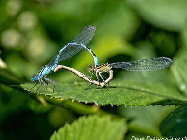 Mating Common Blue damselflies