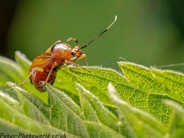 Plant or Capsid bug