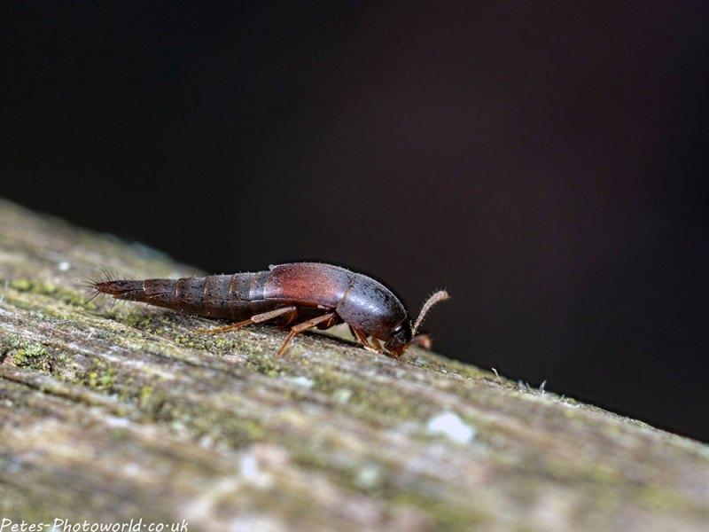 Othius punctulatus Rove Beetle