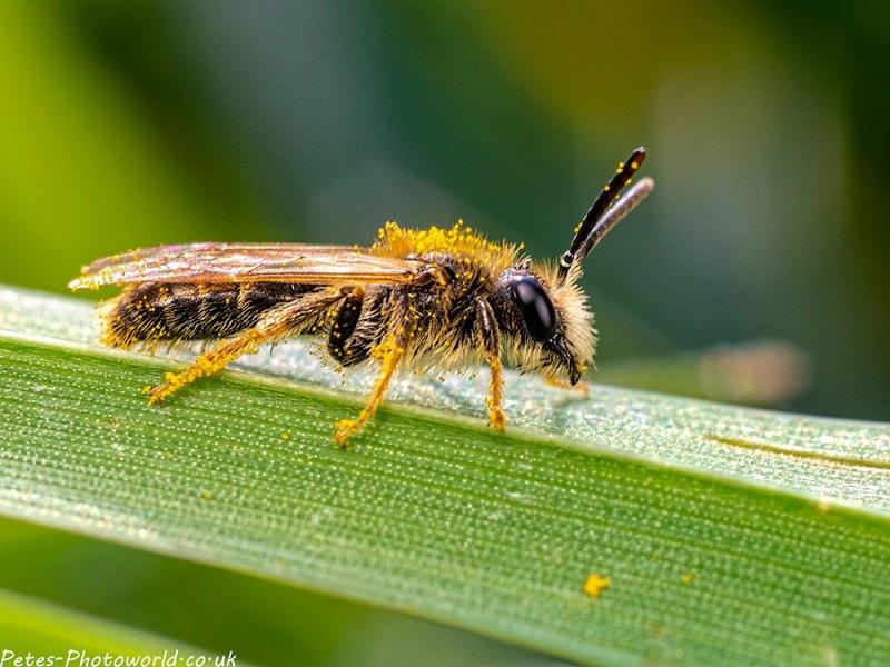Andrena chrysosceles II