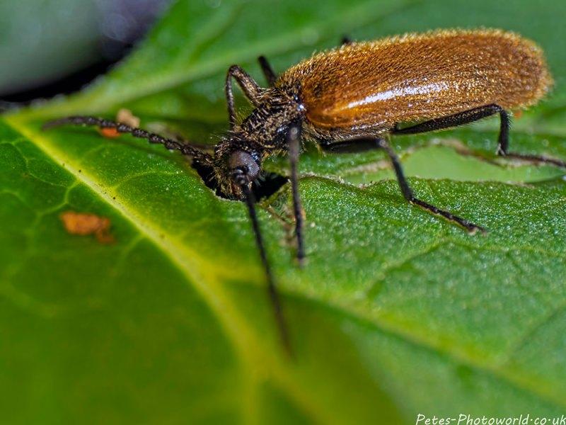 Lagria hirta darkling beetle
