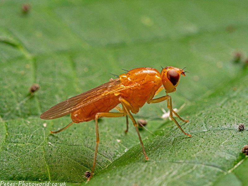 Yellow Flat-footed fly