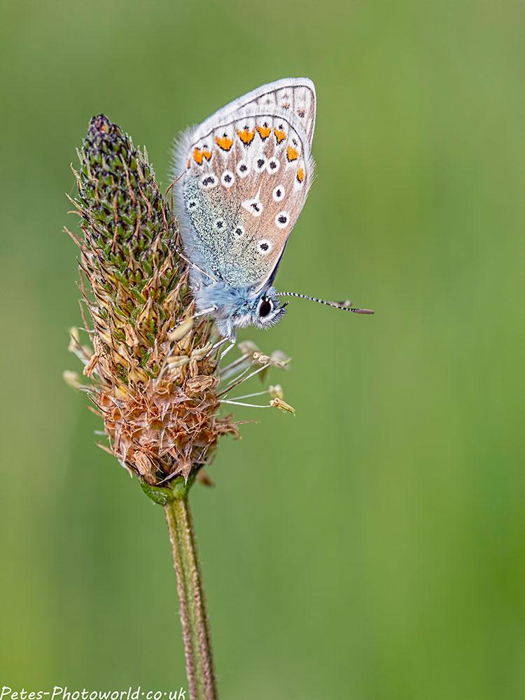 Common Blue butterfly II
