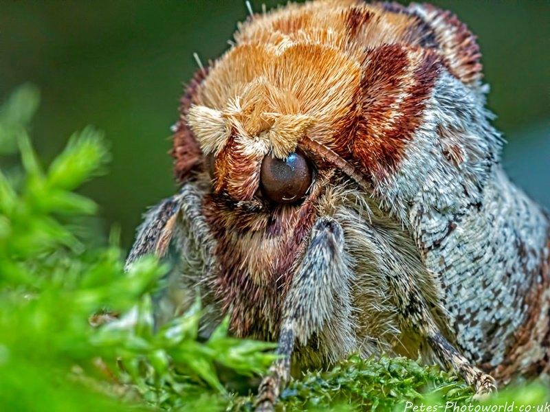 Buff tip moth head shot