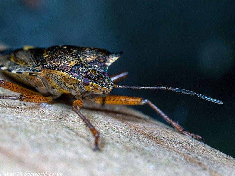 Colourful shieldbug
