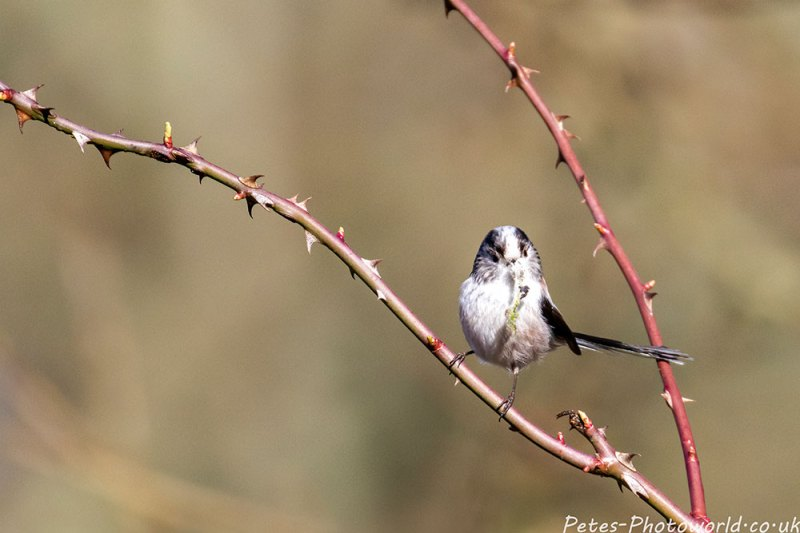 A Long-tailed Tit