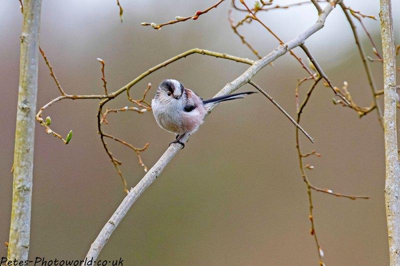Long-tailed Tit VI