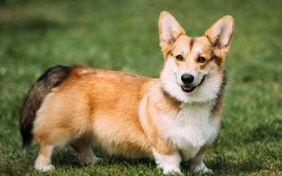 Curiosidades sobre os cachorros da rainha
