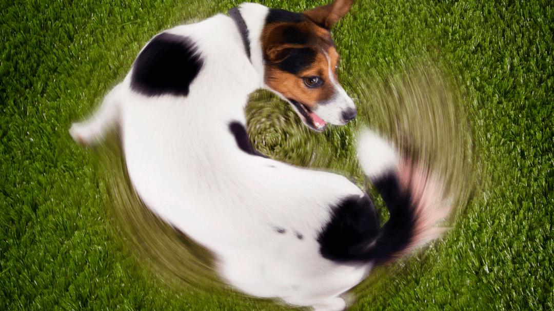Coisas que você provavelmente não sabia sobre o rabo do cachorro