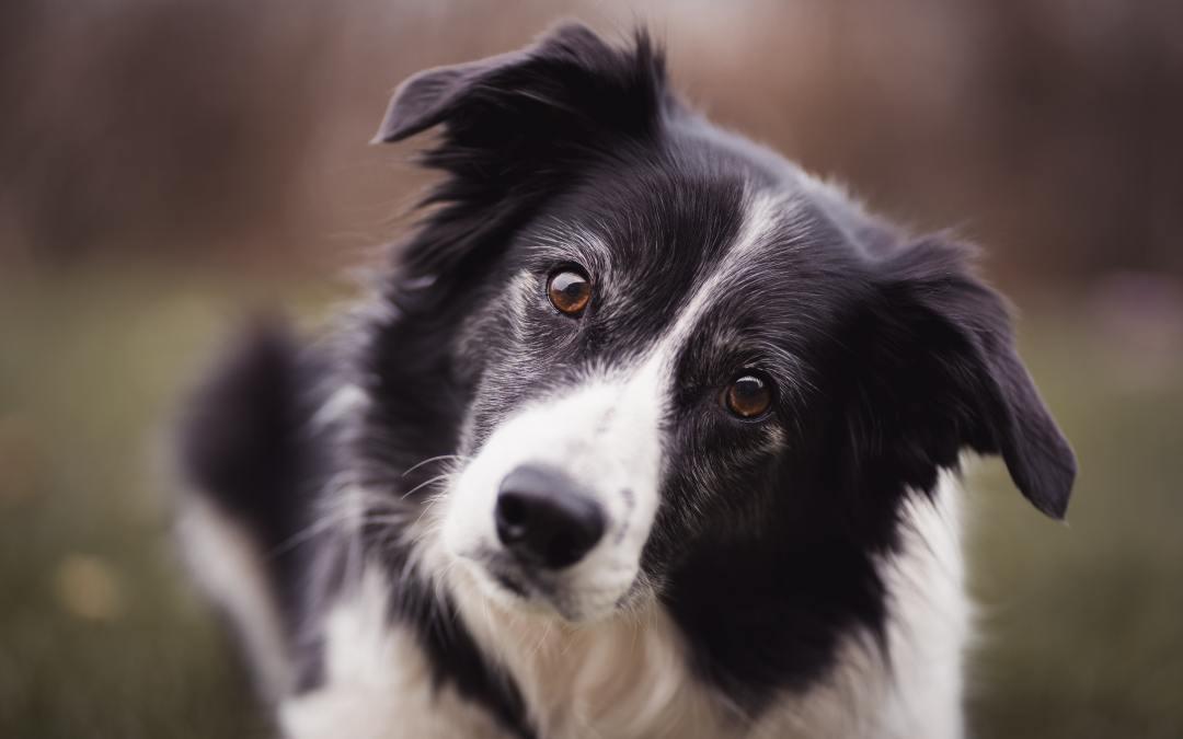 Cães superdotados aprendem palavras novas após escutá-las 4 vezes
