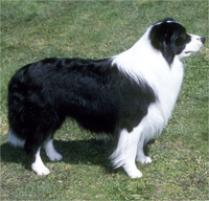 Border Collie Dog Breed