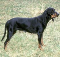 Black and Tan Coonhound Dog Breed