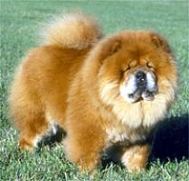 Chow Chow Dog Breed