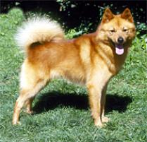 Finnish Spitz Dog Breed