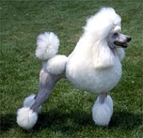 Poodle (Standard) Dog Breed