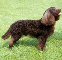 American Water Spaniel Dog Breed