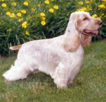 English Cocker Spaniel Dog Breed