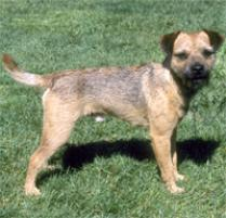 Border Terrier Dog Breed