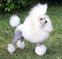 Poodle (Toy) Dog Breed