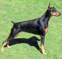 Doberman Pinscher Dog Breed