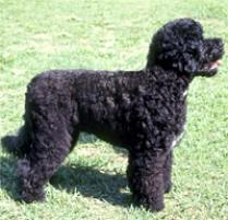 Portuguese Water Dog Dog Breed