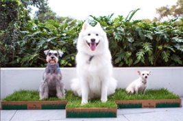 image of white dog using the fresh patch fake grass product