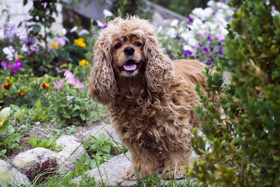 Picture of a older dog in the garden