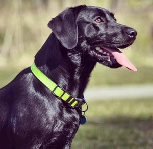 Picture of Black Lab with a green collar