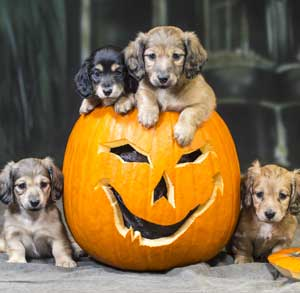 Picture of dogs and a pumpkin