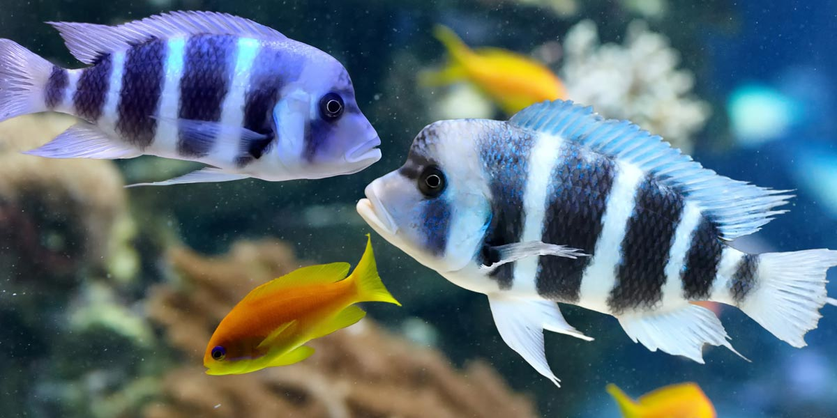 Picture of frontosa cichlid fish in an aquarium